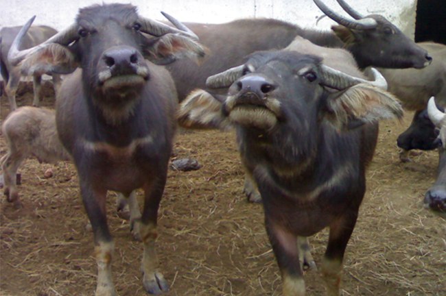 Swamp Type Buffaloes of Manipur